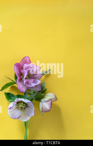 Hellebore flowers overhead on a yellow background. - Stock Image