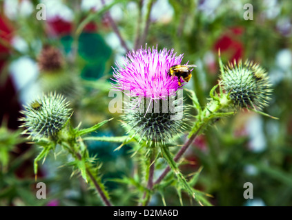 Thistles with bee - Stock Image