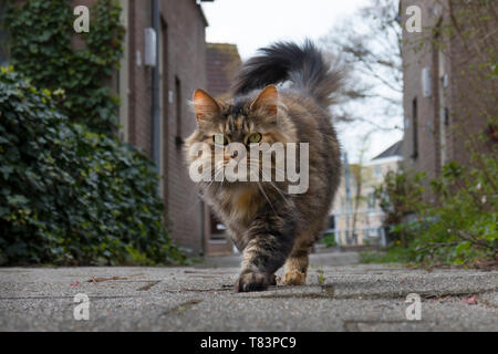 Leiden, Holland - April 4B, 2019: Long haired domestic tabby cat walking outside and looking into the camera - Stock Image