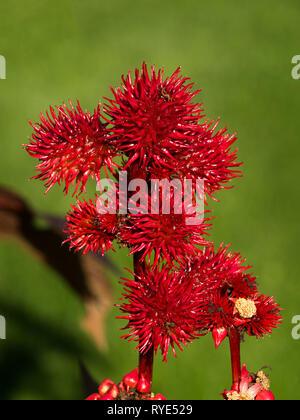 Bright red spiky Castor oil plant seed capsules (Ricinis Communis, Euphorbiaceae), England, UK - Stock Image
