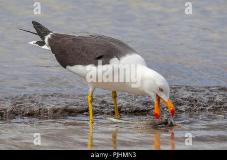 A pacific gull feeding on dead fish, Bruny Island, Tasmania - Stock Image