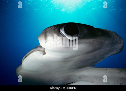 Scalloped Hammerhead Shark (Sphyrna lewini) at night, Cocos Island, Costa Rica - Pacific Ocean.  Image digitally altered to remove distracting or to a - Stock Image