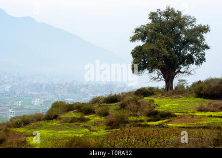 yellow mustard field and a Ficus religiosa tree - Stock Image