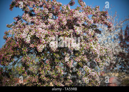 A big rosy blooming tree in a day light. Mid shot - Stock Image