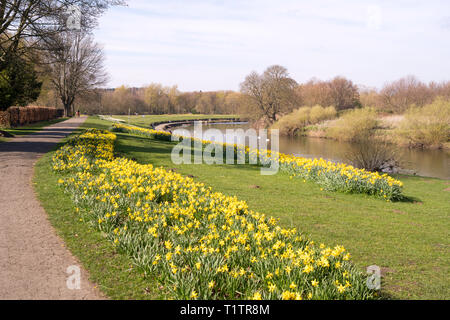 A drift of daffodils in Chester-le-Street riverside park, Co. Durham, England, UK - Stock Image