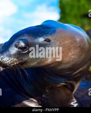Curious sea lion on the rocks of La Jolla Cove, in La Jolla, California - Stock Image