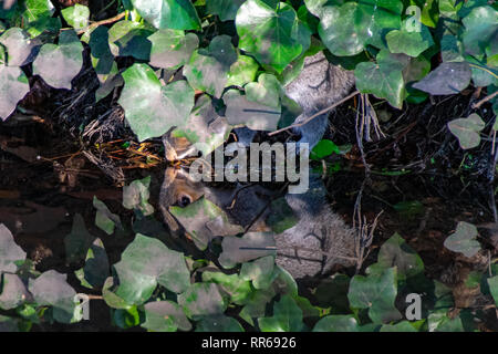 Mirror image water reflection as a grey squirrel drinks water from a river whilst hiding under vegetation - Stock Image