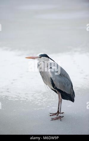Grey Heron,(Ardea cinerea), standing on frozen lake, Regents Park, London, United Kingdom - Stock Image