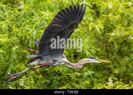 Great Blue Heron in flight above the Guana River near Mickler Beach in Ponte Vedra Beach, Florida. (USA) - Stock Image