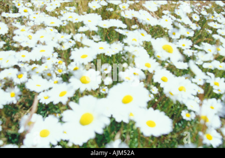 Field of white flowers as a background image. - Stock Image