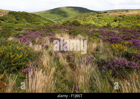 View across the maritime heathland of the Quantock Hills, with Dowsborough (or Danesborough) iron age hill fort - Stock Image
