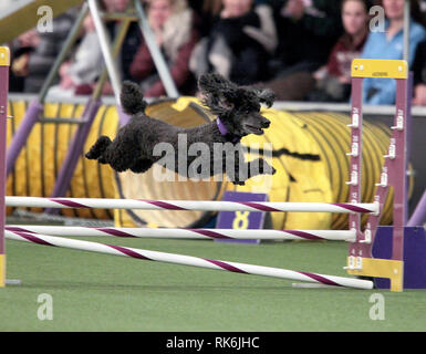 New York, USA. 9th Feb 2019. Chloe, A Poddle, competing in the preliminaries of the Westminster Kennel Club's Master's Agility Championship. Credit: Adam Stoltman/Alamy Live News - Stock Image