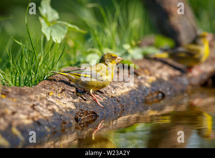 Close up view of Carduelis chloris, European greenfinch, drinking at the edge of a garden pond, Koros-Maros National Park, Bekes County, Hungary - Stock Image