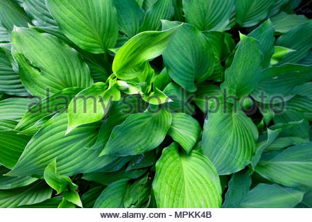 Hosta — AKA plantain lily, giboshi or Funkien — as the first flower buds form in spring - Stock Image