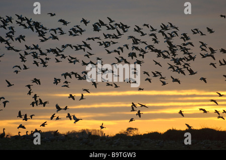 Flock of pink footed geese Anser brachyrhynchus flying to roost at dusk Norfolk November - Stock Image