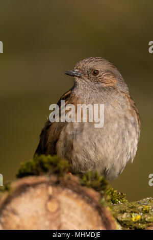 Dunnock (Prunella modularis) perched on a mossy branch - Stock Image