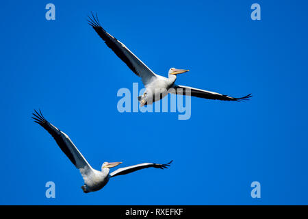 American White Pelican - Stock Image