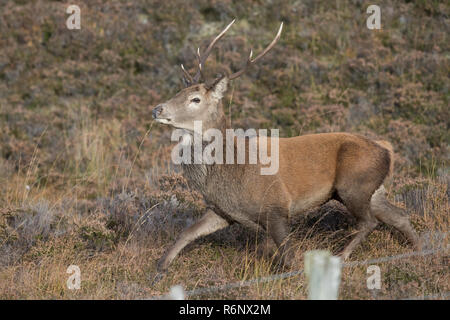 Red deer stag in the Highlands of Scotland - Stock Image