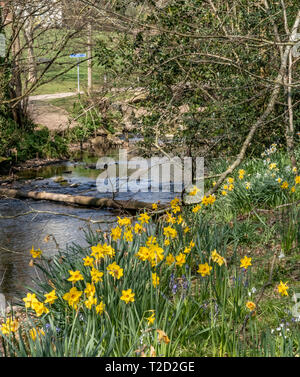 Daffodils and bluebells growing on the side of the river Sid, Sidmouth,Devon, UK - Stock Image