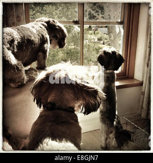 Three Dogs looking out of a window - Stock Image