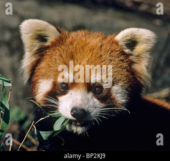 Red or lesser panda eating bamboo leaves China - Stock Image