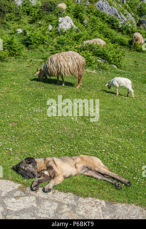 Spain, ewes and guard dog in the Picos de Europa - Stock Image