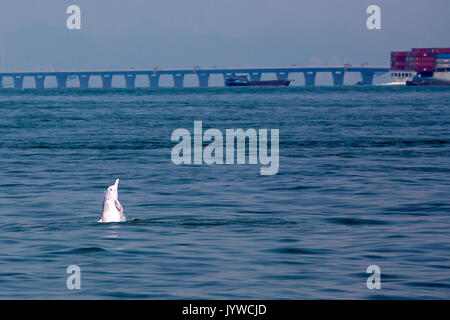 Indo-Pacific Humpback Dolphin (Sousa chinensis) in Hong Kong waters with the HK-Zhuhai-Macau Bridge in the background. - Stock Image