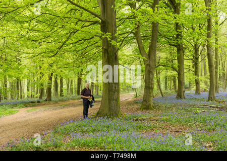 Mature woman walking in beech woodland among Bluebells, Hyacinthoides non-scripta, Angmering Park Estate, Sussex, UK, April - Stock Image
