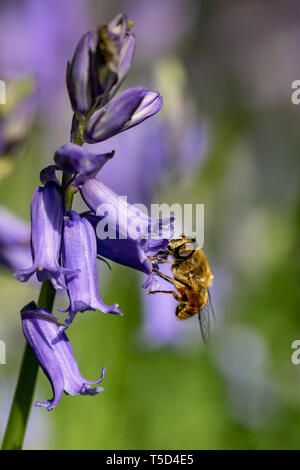 Bee collecting nectar pollen from bluebell wild flower in woodland countryside - Stock Image