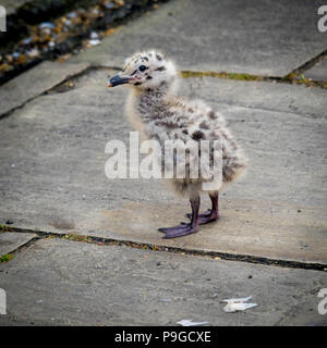 A herring gull Larus argentatus chick apparently unhurt but fallen from the nest on to the pavement - Stock Image