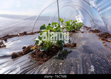 Farming in Greece, rows of small greenhouses covered with plastic film with growing young melon plants in spring season on brown soil, view from insid - Stock Image