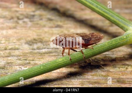 Alder froghopper (Aphrophora alni : Aphrophoridae), UK. - Stock Image