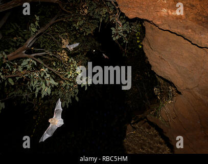 Eastern Horseshoe Bats or Micro Bats (Rhinolophus megaphyllus ignifer) coming out of Archway Cave to hunt at night, Undara Lava Tubes, Undara Volcanic - Stock Image