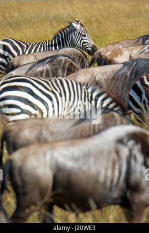 Mixture of herds of Buchell's Zebras, Equus quagga, and Wildebeest, Connochaetes gnou, during the Great Migration, - Stock Image