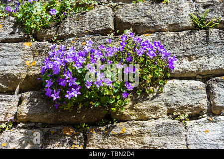 A bellflower (campanula) with purple blue coloured flowers is growing in a stone wall in the sunshine in Bradford on Avon - Stock Image