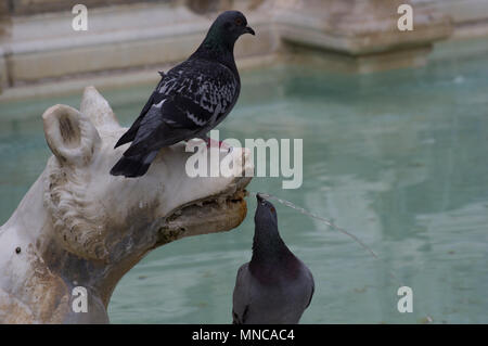 pigeons in the fountain in siena italy frolicking atop statues of a wolf and even drinking from it's mouth - Stock Image