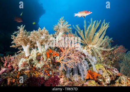 Species-rich Coral Reef, Lissenung, New Ireland, Papua New Guinea - Stock Image