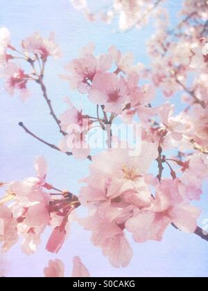 Lovely, light pink sakura or cherry blossoms with soft blue sky in the background, with painterly texture overlay. - Stock Image