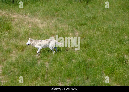 A grey wolf roams in his enclosure at the Wild Animal Sanctuary in Keenesburg, Colorado. - Stock Image