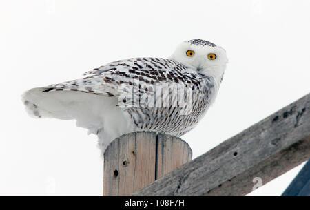 Snowy Owl Winter Canada Pole perched Saskatchewan - Stock Image