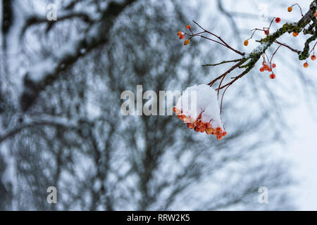 A cluster of red/orange berries from a Whitebeam (sorbus aria) tree covered in snow - Stock Image