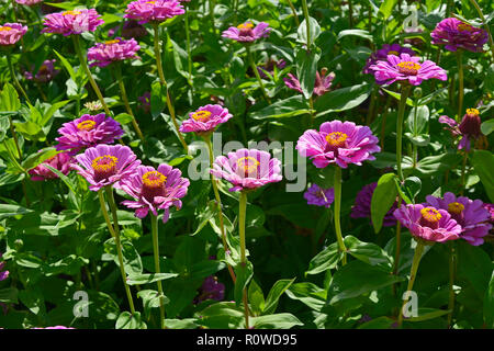 A colourful display of flowering Zinnia elegans 'Purple Prince' - Stock Image