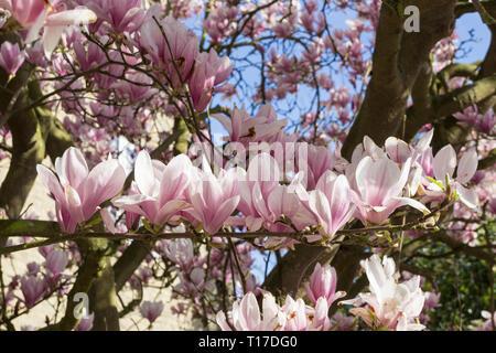 Magnolia blossom 2019 - Stock Image