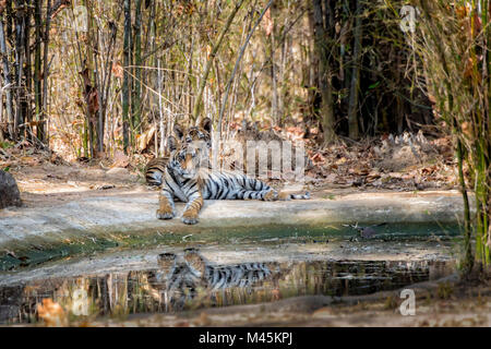 Two cute little two month old Bengal Tiger Cubs, Panthera tigris tigris, lying together by a waterhole, reflections, - Stock Image
