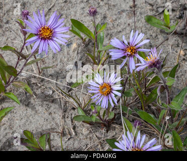 A group of violet Arctic Asters (Eurybia sibirica) blooming in Nome, Alaska - Stock Image