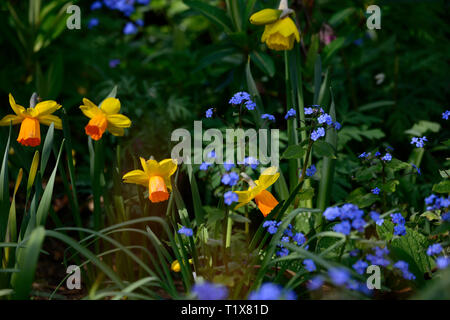 Narcissus jetfire,Daffodil,yellow flowers,orange trumpets,Forget-me-not flowers,Myosotis sylvatica,blue flowers,spring combination,RM Floral - Stock Image
