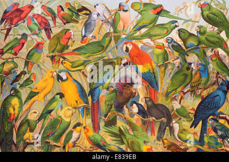 Lithograph parrot parakeet macaw psittacines Psittaciformes - Stock Image