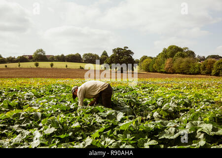 Farmer standing in a field, harvesting pumpkins. - Stock Image