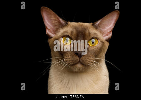 Portrait of Burmese Cat with Curious Gazing on isolated black background, front view - Stock Image