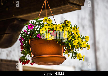 Colorful flowers 'Mini Petunia, Calibrachoa Celebration Carnival' in a flowerpot hanging tied to a wooden - Stock Image